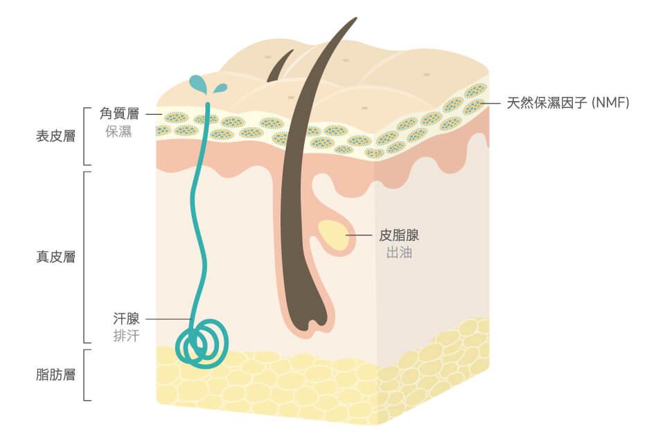 活萃修護精華露以肌膚熟悉的成分幫助長效保濕,改善臉出油「外油內乾」